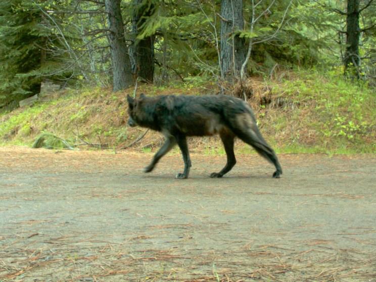Wenaha Pack wolf, June 8, 2011. Photo courtesy of ODFW.