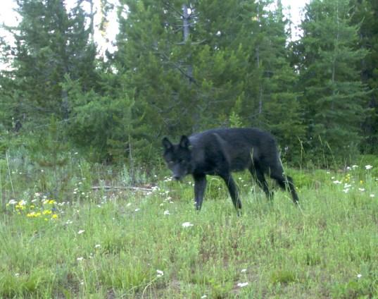 Wenaha Pack yearling wolf, Aug 5, 2011. Photo courtesy of ODFW.