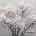 アカメヤナギの雪景色