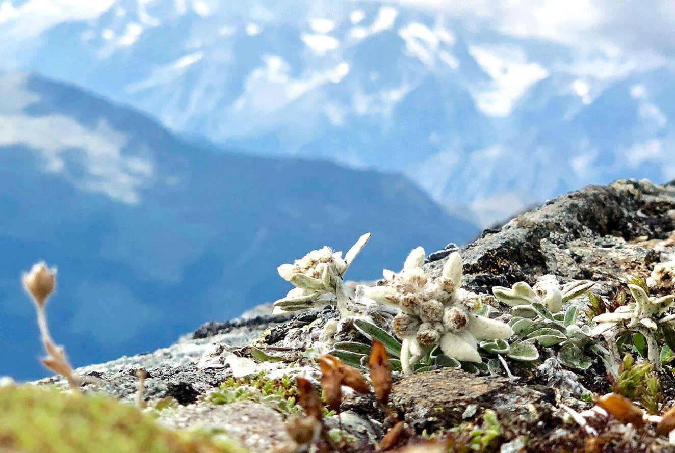 Alpine Edelweiss seen at 2950m