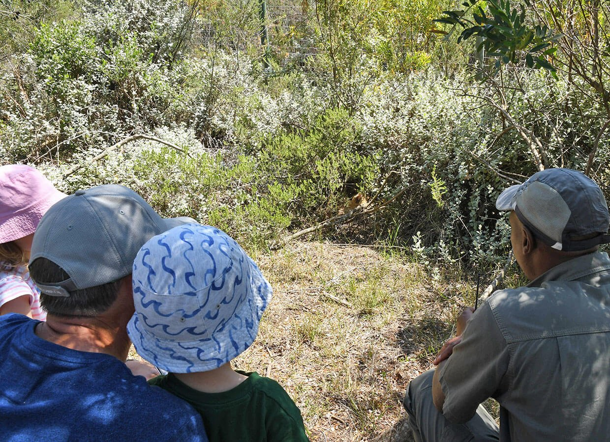 Observing the Serval at Tenikwa