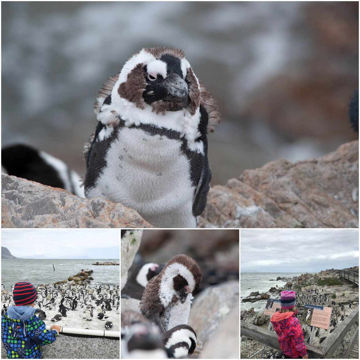 South Africa :: Stony Point Penguin Colony at Betties Bay