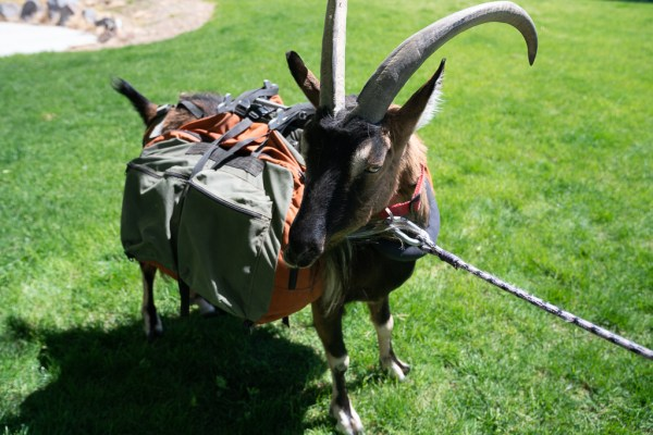 Large Pack Goat Panniers