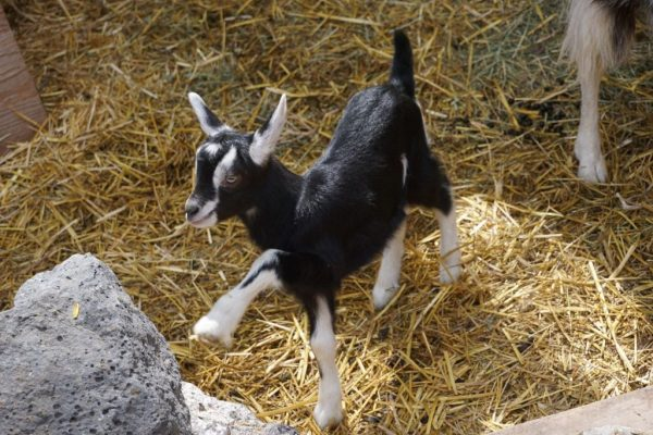 baby pack goat
