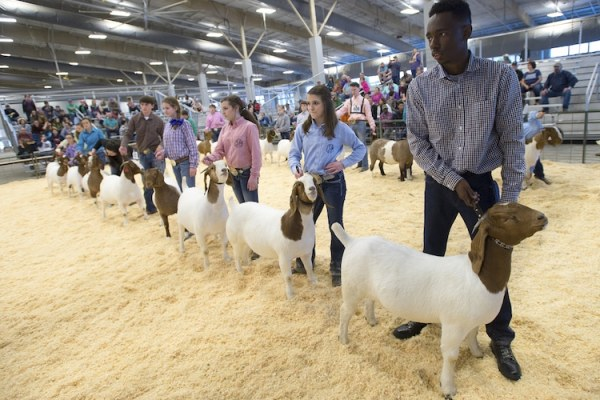 Contestants show their goats at the 83rd annual LSU AgCenter Livestock Show on Feb. 11, 2018.