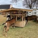 Goat Feeder