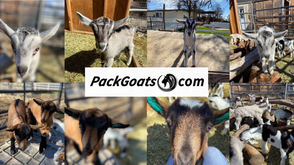 reserve your baby goat