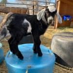 Baby Goat Kit