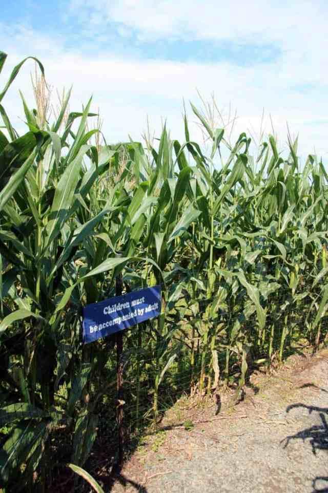 Cox Farms Corn Maze