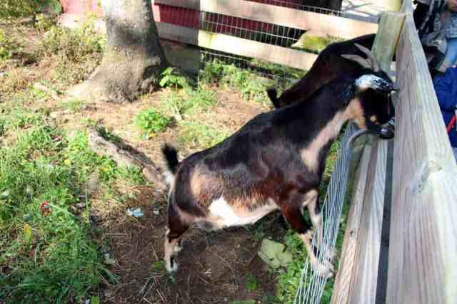 Great Country Farms Bluemont, Virginia goats