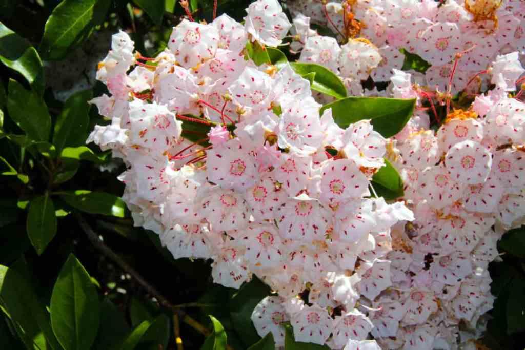 Flowers in the Asticou Azalea Garden in Northeast Harbor