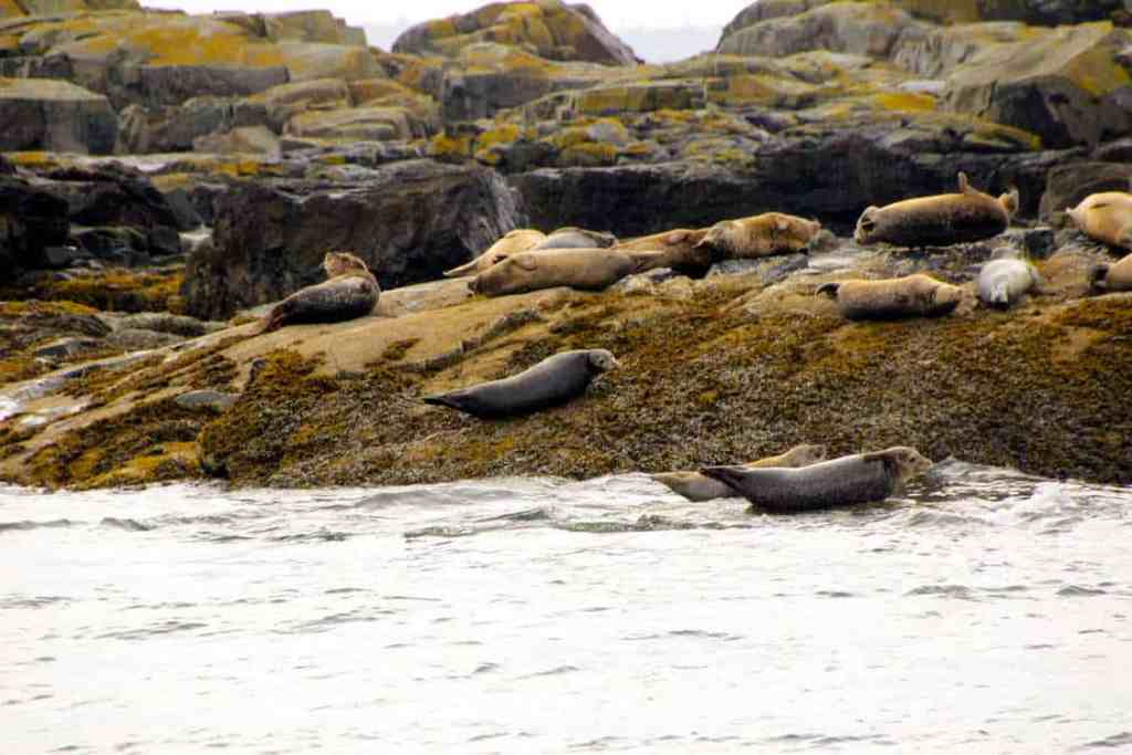 Harbor seals basking on the rocks during the lulu boat tour
