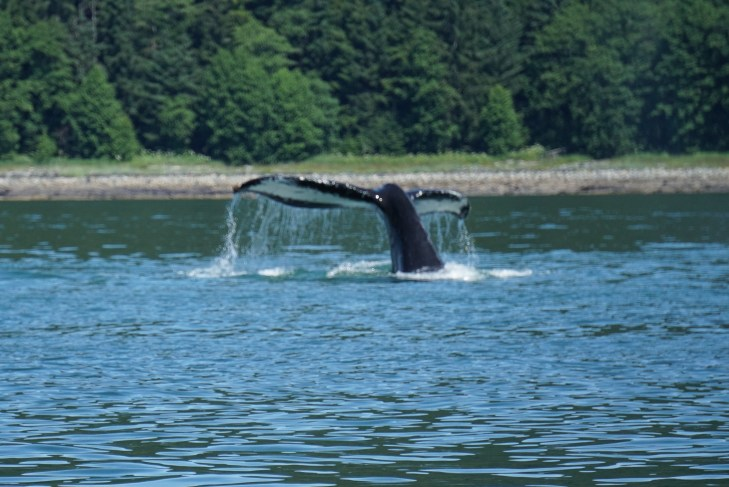 Sony a6000 for beginners, set to Sports Action to caption the tale action of this whale in Juneau, Alaska! No photography Experience Necessary.