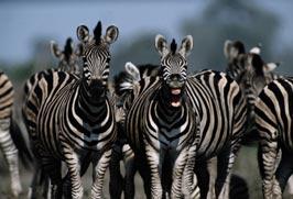 big_zebra_splsh