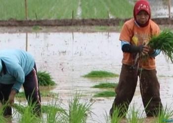 Petani menanam padi di sawah. (tumpak)