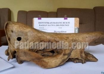 Barang bukti tengkorak kambing hutan yang diamankan. (fajar)