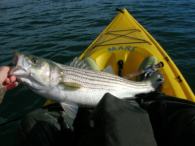 Striped bass caught from a kayak