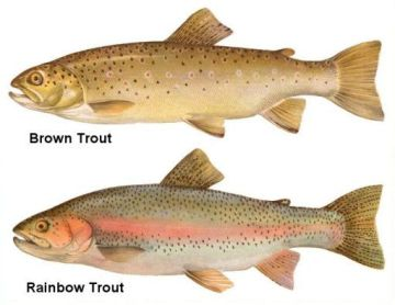 Rainbow Trout Vs Brown Trout