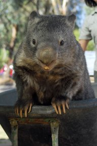 patrick the oldest and largest living wombat (2)
