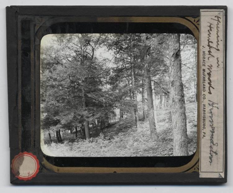 Forest of hemlock trees
