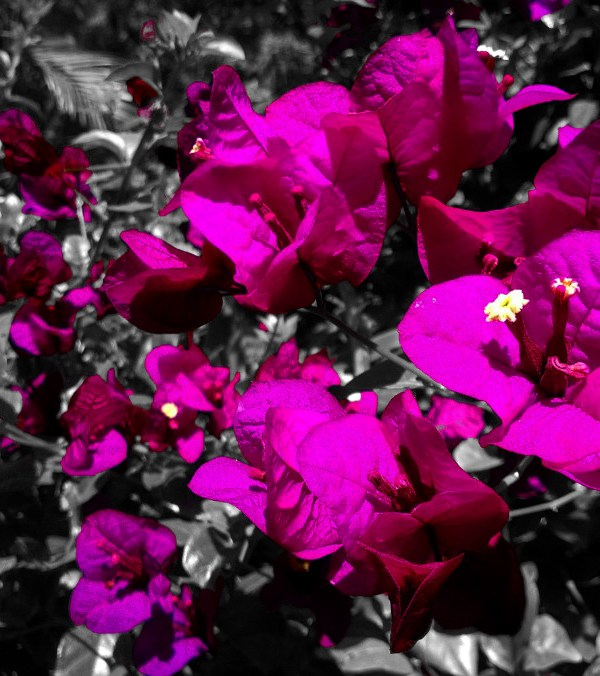 Pink bougainvilleas photograph