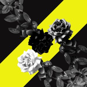 Monochrome roses photograph with yellow diagonal stripe