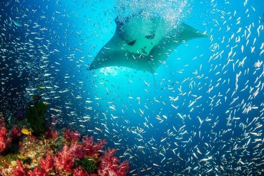 healthy-coral-reef-manta-ray
