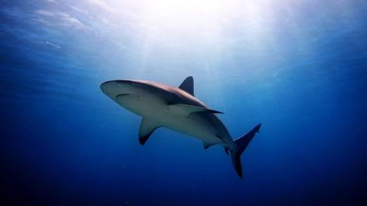 Shark Underwater - Shark - Ocean - Bull Shark