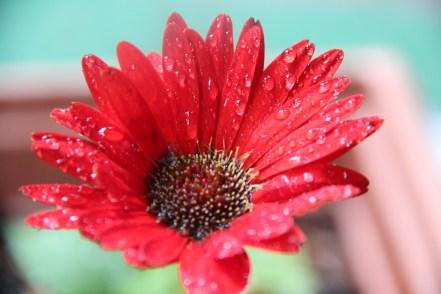 Raindrops on daisy