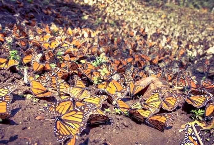 santuario de las mariposas monarcas