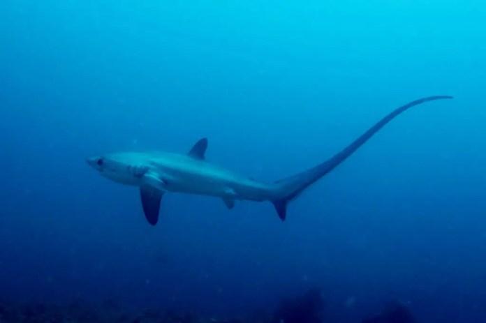 buceadores y tiburones