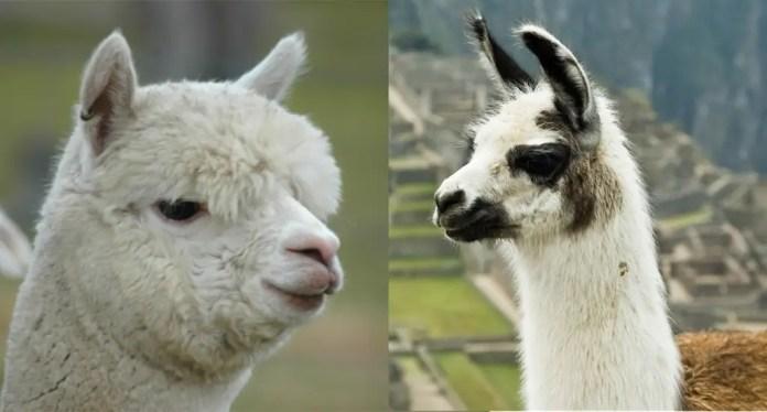 quesos de animales extraños