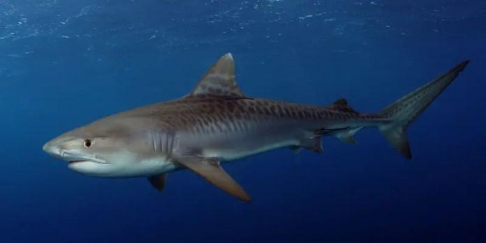 nado con tiburon tigre