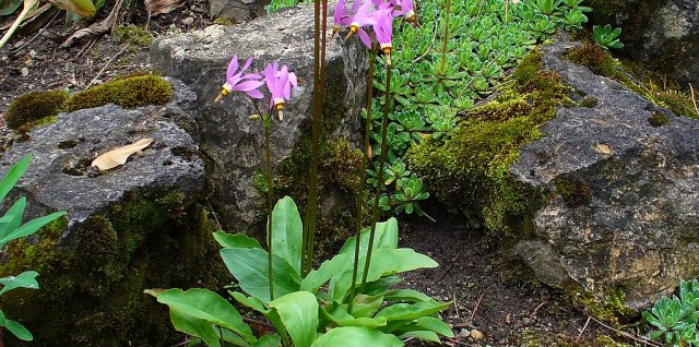 Shooting star herbal plant with purple blooms in forested area.