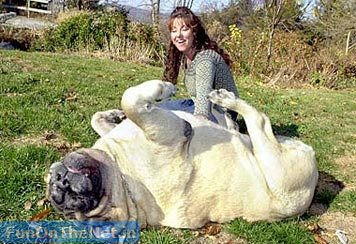 "This dog's weight was recorded as 286 lbs, but the owner thinks his actual weight is probably quite a bit more, since ""his butt wouldn't fit on the scale"""