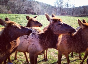 Up close encounter with elk during our guided tram tour stop