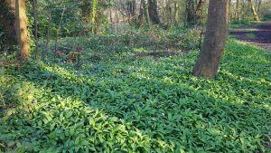 Spring Foraging in the UK - Wild Garlic