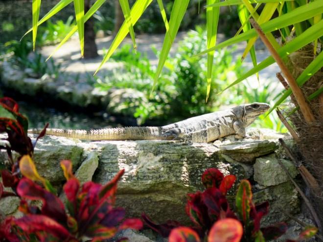 C iguana