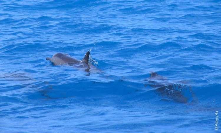 Дельфин в море на Мальдивах