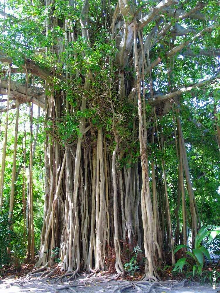 Дерево-баньян