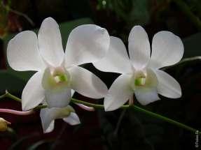 Белые орхидеи в Королевском ботаническом саду