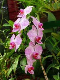 Ветка орхидей в Перадении
