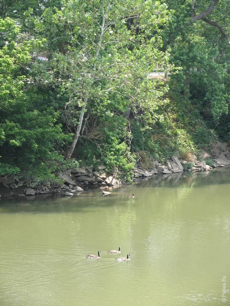 Индианаполис гуси плывут по реке