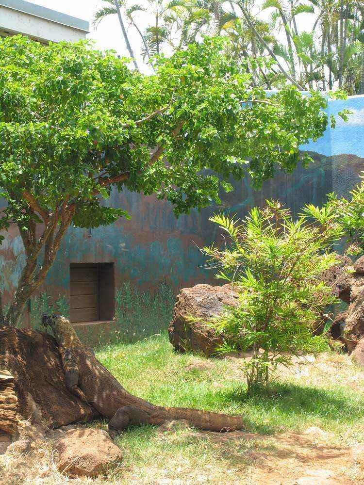 зоопарк гонолулу (honolulu zoo), Комодский дракон