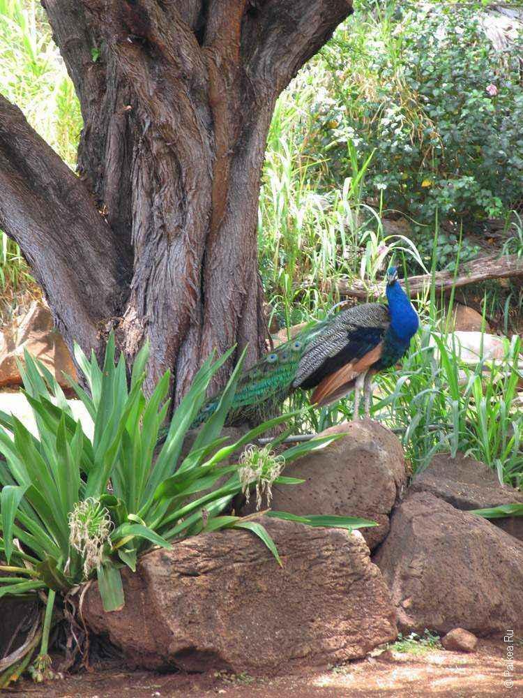 зоопарк гонолулу (honolulu zoo), птица павлин сидит на камне