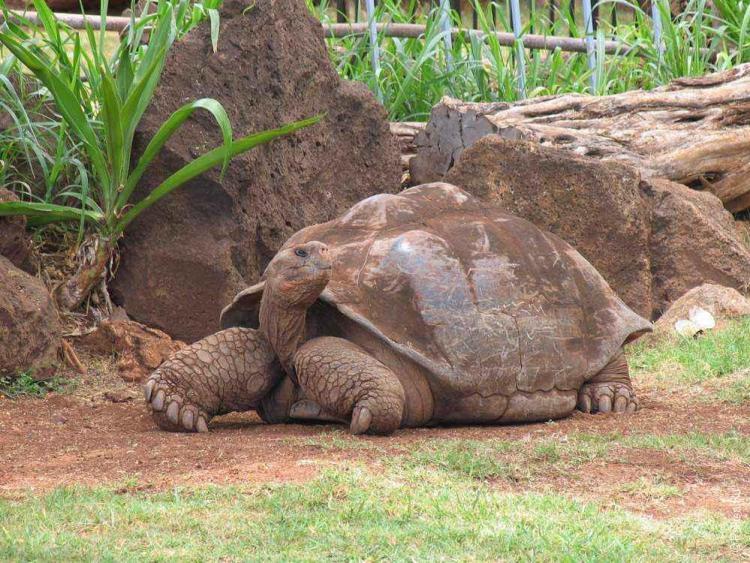 зоопарк гонолулу (honolulu zoo), большая галапагосская черепаха