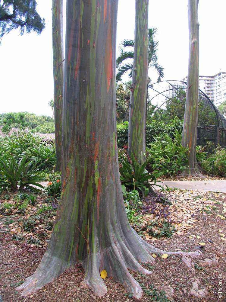 зоопарк гонолулу (honolulu zoo), деревья с цветной корой