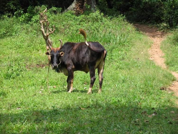 Элла Шри Ланка бык