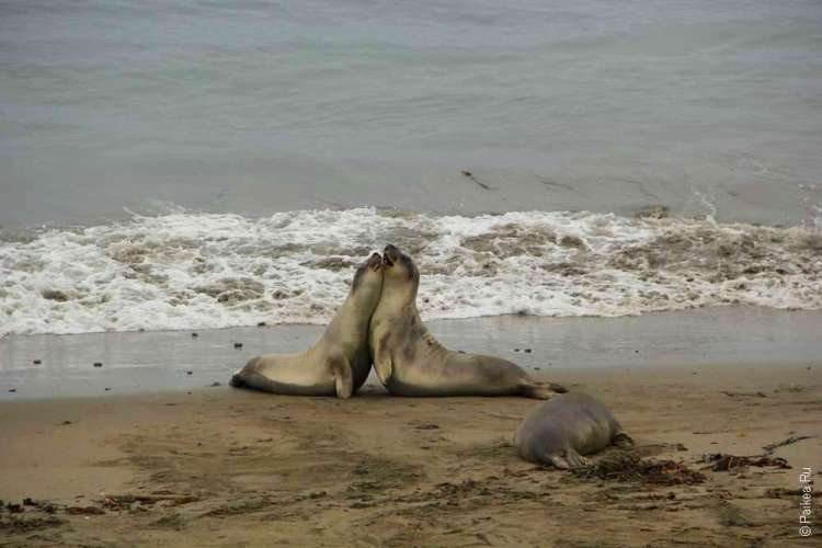 Два морских котика на фоне волн