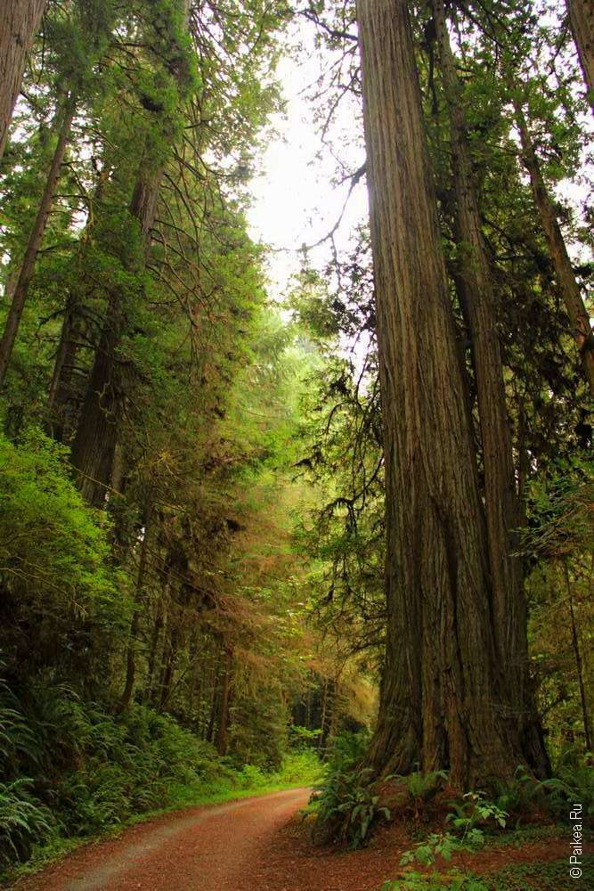 Редвуд - самое высокое дерево в мире